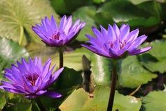 Flores do lírio de água Fotografia de Stock