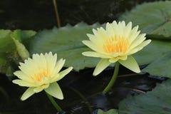 Flores do lírio de água Foto de Stock Royalty Free