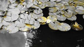 Flores do lírio de água contra um fundo monocromático Imagem de Stock Royalty Free