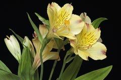 Flores do lírio peruano Fotos de Stock