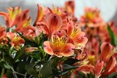 Flores do lírio peruano do Alstroemeria Fotografia de Stock