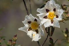Flores do ladanifer do Cistus Fotografia de Stock