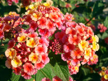 Flores do Lantana Foto de Stock Royalty Free