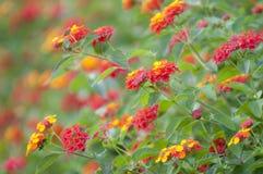 Flores do Lantana Imagens de Stock Royalty Free