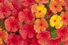 Flores do Lantana Fotos de Stock Royalty Free