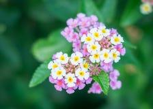 Flores do Lantana no jardim Imagens de Stock