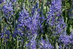 Flores do leichtlinii grande camas do Camassia foto de stock