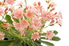 Flores do Lewisia Fotografia de Stock