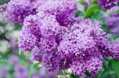 Flores do lilás da mola Imagens de Stock Royalty Free