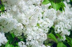 Flores do lil?s branco, close-up Fundo natural do ver?o imagem de stock