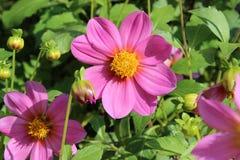 Flores do lila do verão na flor imagem de stock