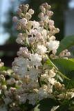 Flores do Lilac Imagem de Stock Royalty Free