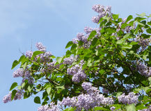 Flores do Lilac Fotografia de Stock Royalty Free