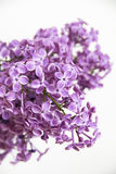 Flores do Lilac Fotografia de Stock