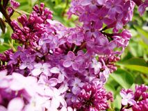 Flores do Lilac fotos de stock royalty free
