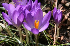 Flores do lilac da mola Fotos de Stock