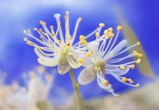 Flores do Linden Foto de Stock