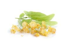 Flores do Linden Fotos de Stock Royalty Free