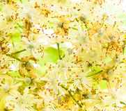 Flores do Linden Imagem de Stock Royalty Free