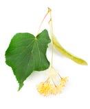 Flores do Linden Imagens de Stock Royalty Free
