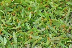 Flores do Linden Fotografia de Stock