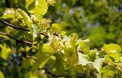 Flores do Linden Foto de Stock Royalty Free