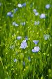 Flores do linho no campo. Imagens de Stock Royalty Free
