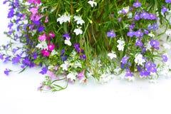 Flores do Lobelia Imagens de Stock