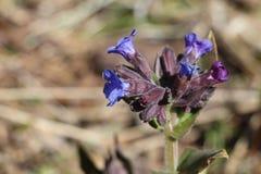 Flores do lungwort Imagens de Stock