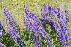 Flores do Lupin Imagens de Stock