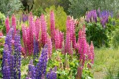 Flores do Lupine Imagem de Stock