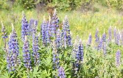 Flores do Lupine Fotos de Stock Royalty Free