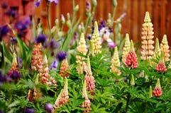 Flores do Lupine em um jardim Fotos de Stock Royalty Free