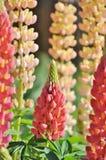 Flores do Lupine em um jardim Imagens de Stock