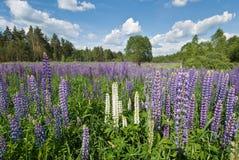 Flores do Lupine no céu azul Fotos de Stock Royalty Free