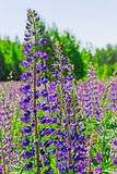 Flores do Lupine selvagem imagens de stock