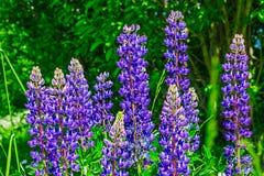 Flores do Lupine selvagem imagem de stock