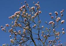 Flores do magnolia cor-de-rosa Foto de Stock Royalty Free
