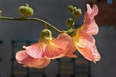 Flores do Mallow em uma filial Foto de Stock Royalty Free
