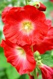 Flores do mallow vermelho Imagem de Stock