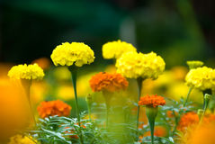 Flores do Marigold Fotos de Stock Royalty Free