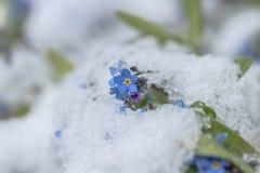 Flores do miosótis na neve Imagem de Stock