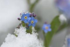Flores do miosótis na neve Fotografia de Stock Royalty Free