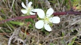 Flores do morango silvestre foto de stock