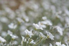 Flores do morrião dos passarinhos de campo no jardim fotos de stock royalty free