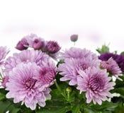 Flores do Mum Foto de Stock Royalty Free