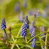 Flores do Muscari Imagem de Stock Royalty Free