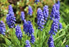 Flores do Muscari Fotos de Stock Royalty Free