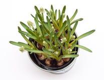 Flores do Muscari em um potenciômetro Fotos de Stock