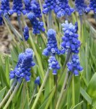Flores do Muscari na flor fotografia de stock royalty free